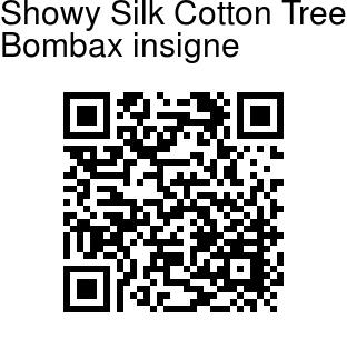 Bombax insigne - Showy Silk Cotton Tree