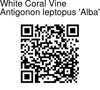 Antigonon leptopus 'Alba' - White Coral Vine