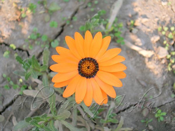 Pin Orange Cape Daisy Flower Hd Desktop Wallpaper Widescreen High On Pinterest