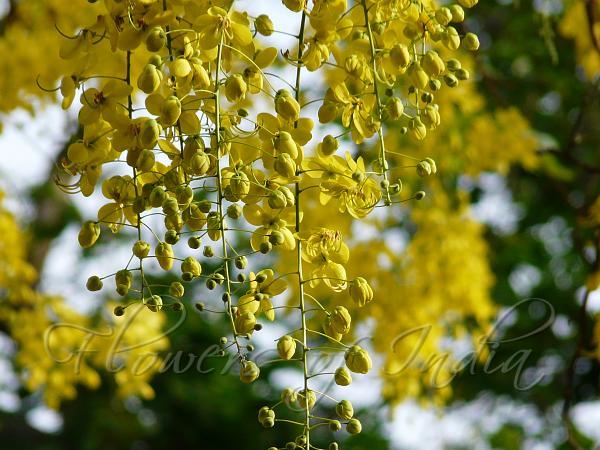 Cassia fistula - Amaltas