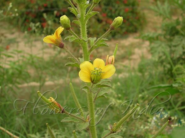 Asian Spider Flower