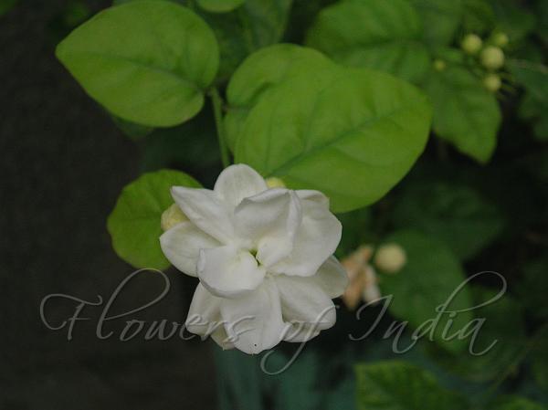 Jasminum sambac var  'Maid of Orleans' - Bela
