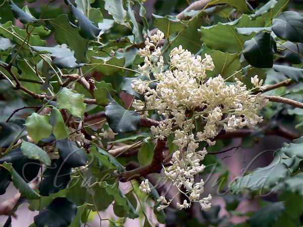 Dalbergia Latifolia Black Rosewood