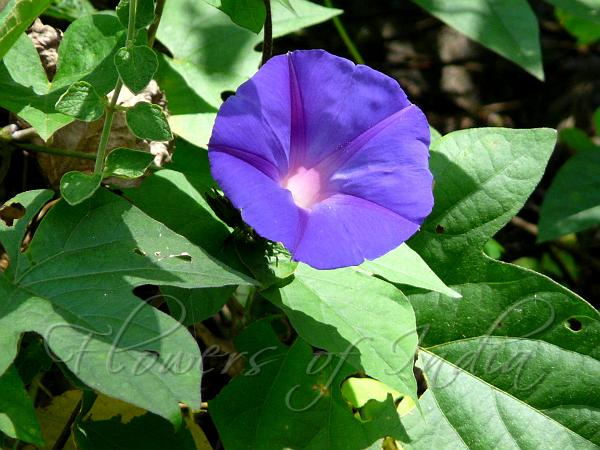 Ipomoea Indica Blue Dawn Flower