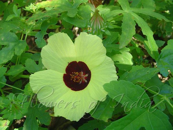 Hibiscus Surattensis Bush Sorrel