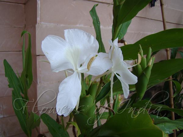 Hedychium Coronarium Butterfly Ginger Lily