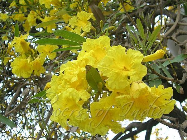 Tabebuia aurea caribbean trumpet tree caribbean trumpet tree mightylinksfo
