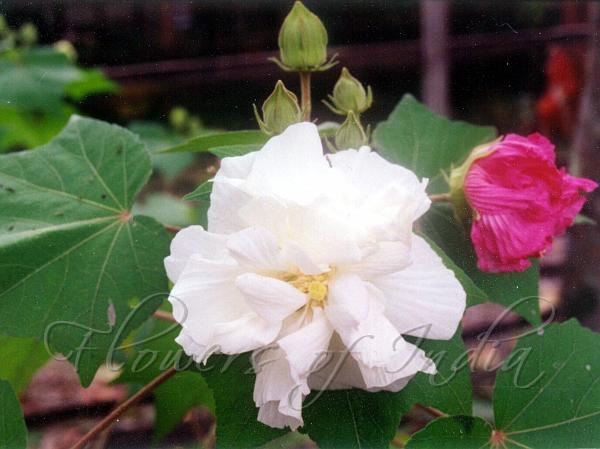 Hibiscus Mutabilis Changeable Rose