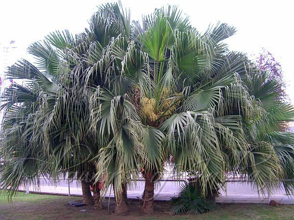 chinese fan palm fruit - photo #27