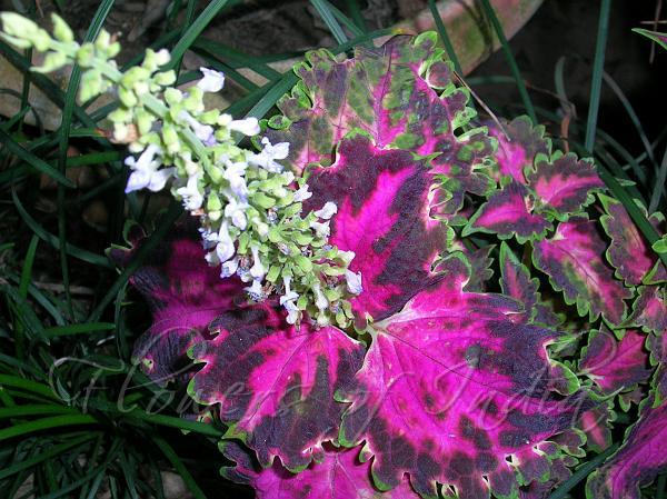 plectranthus scutellarioides  coleus, Beautiful flower