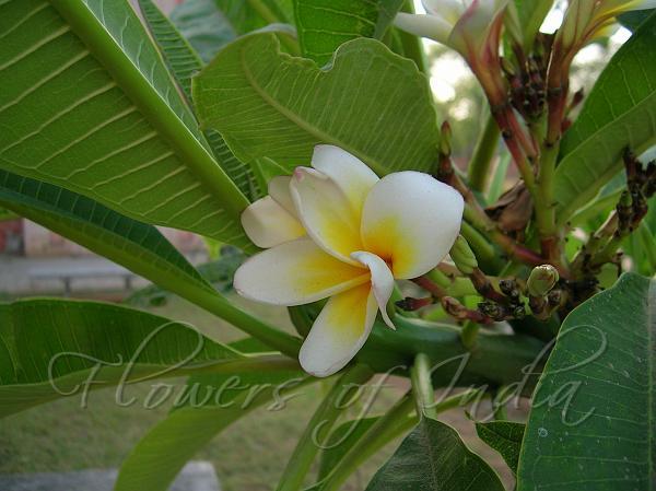 Plumeria rubra common white frangipani common white frangipani mightylinksfo
