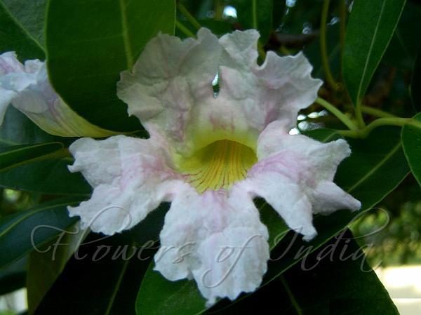 Tabebuia heterophylla cuban pink trumpet tree cuban pink trumpet tree mightylinksfo
