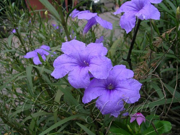 Ruellia Simplex Desert Petunia