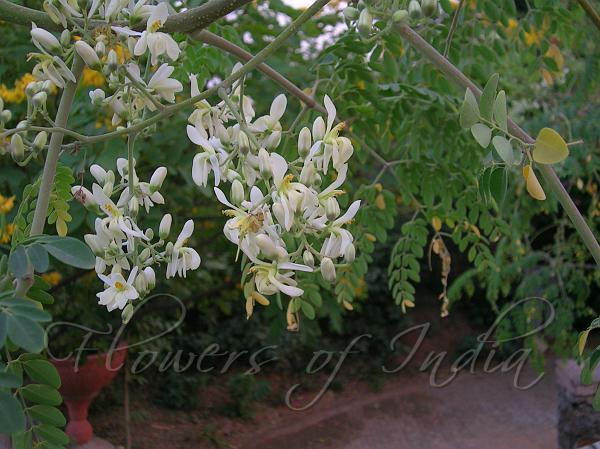 Moringa Oleifera Drumstick Tree