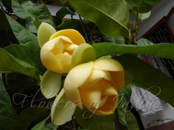 Magnolia Liliifera Egg Magnolia
