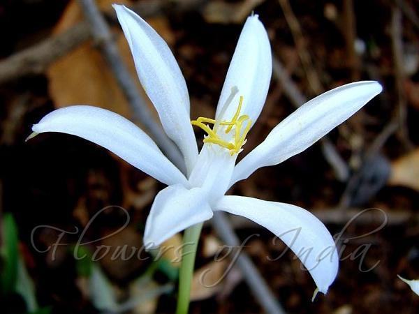 lily flower in marathi