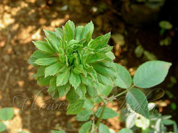 Rosa Chinensis Viridiflora Green Rose