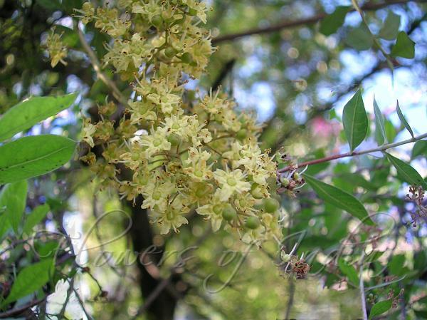 Lawsonia Inermis Henna