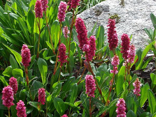 Himalayan Fleeceflower