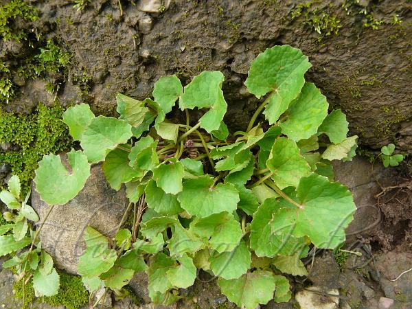 Centella Asiatica Indian Pennywort