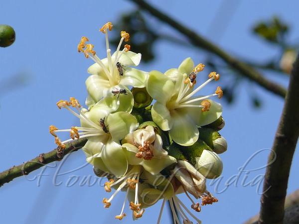 Ceiba pentandra - Kapok Tree