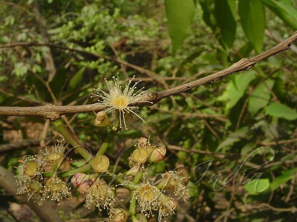 Syzygium Heyneanum Kath Jamun