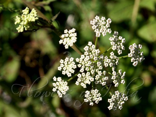 http://www.flowersofindia.net/catalog/slides/Large%20Leaflet%20Water%20Parsnip.jpg