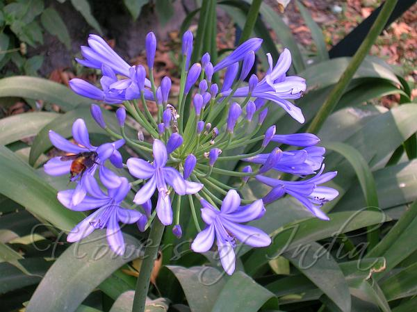 Agapanthus Afric Lily Of The Nile