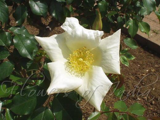 Rosa gigantea macrocarpa - Manipur Wild-Tea Rose