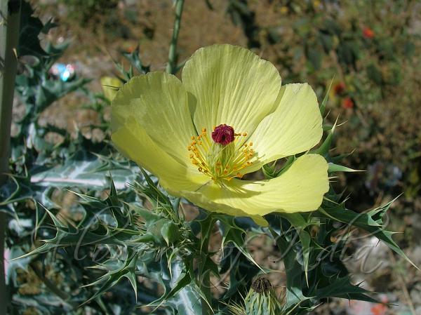 Argemone Mexicana Mexican Prickly Poppy