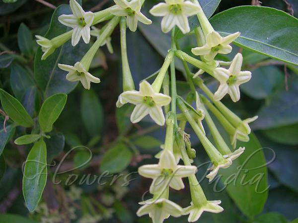 Flower Names In Tamil And English Seeds Beej Suppliers Traders Manufacturers