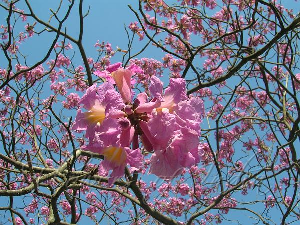 Tabebuia rosea pink trumpet tree pink trumpet tree mightylinksfo