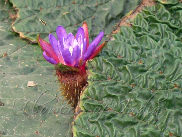 Flowers of india prickly waterlily mightylinksfo