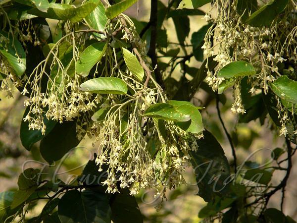 Shorea robusta - Sal