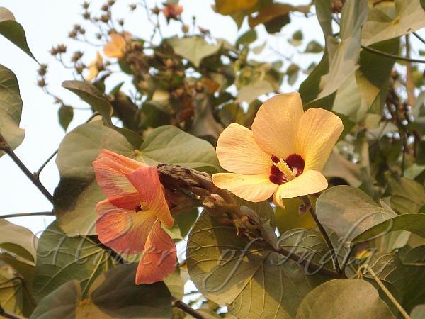 Talipariti Tiliaceum Sea Hibiscus