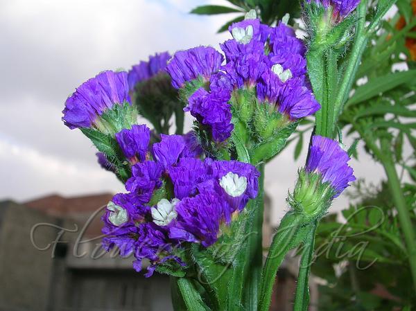 Limonium Sinuatum Sea Lavender