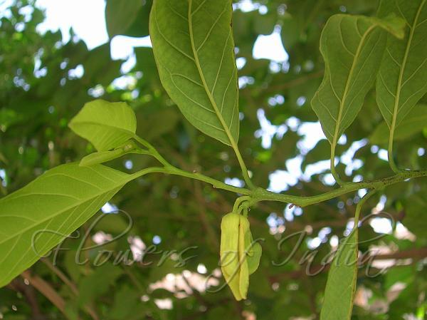 Annona squamosa - Sugar Apple
