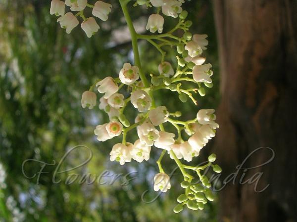 Toona Ciliata Toon Tree