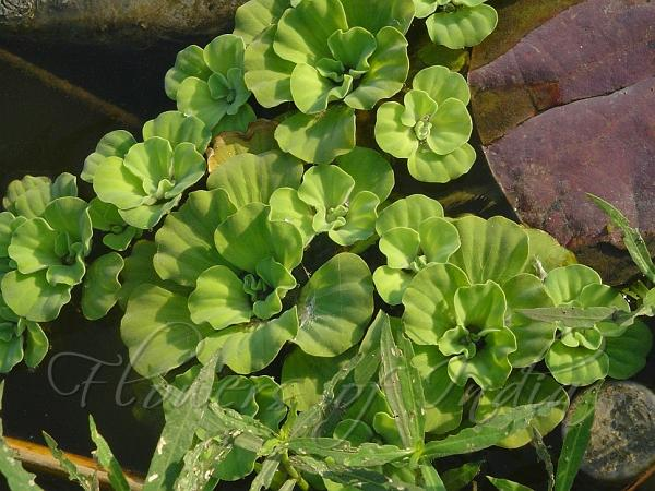 Pistia Stratiotes Water Cabbage