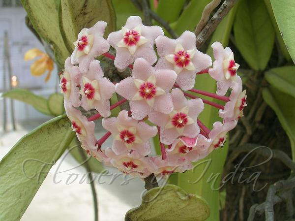 Hoya Carnosa Wax Flower