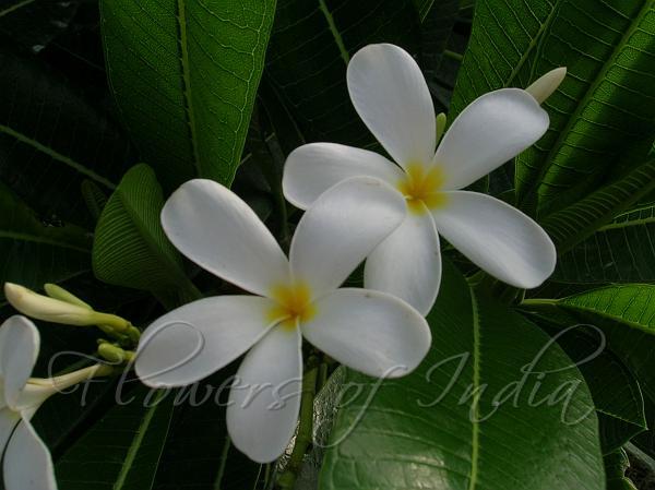 Plumeria obtusa white frangipani white frangipani mightylinksfo