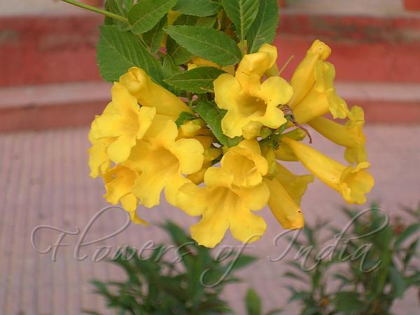 Tecoma stans yellow bells yellow bells mightylinksfo