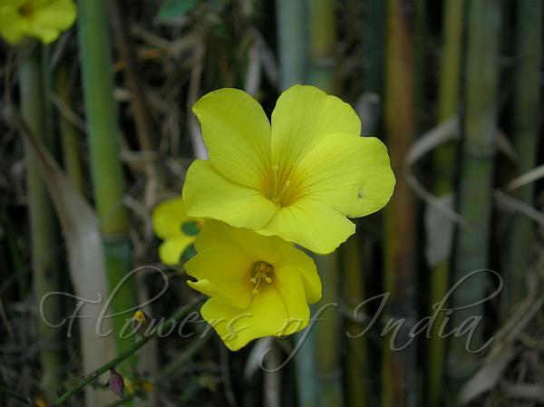 Reinwardtia indica yellow flax yellow flax mightylinksfo