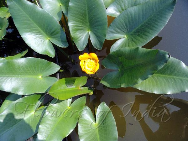 Flowers of india yellow pond lily mightylinksfo