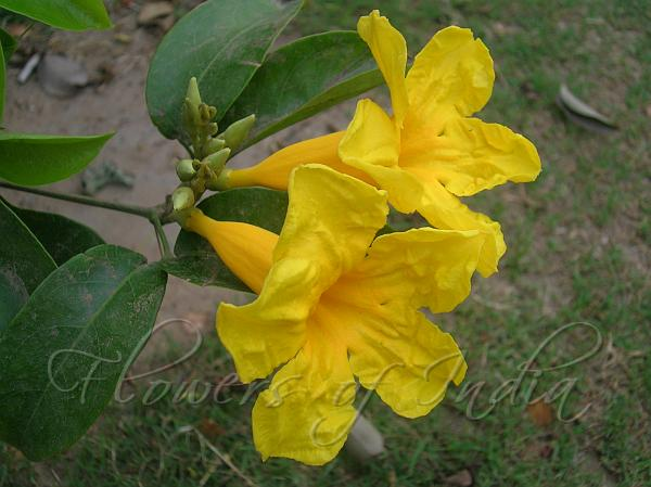 Adenocalymma comosum yellow trumpet vine yellow trumpet vine mightylinksfo