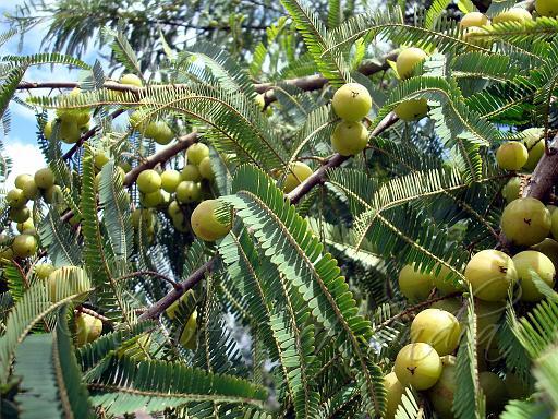 Phyllanthus emblica - Amla