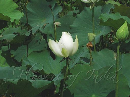 Nelumbo Nucifera Lotus