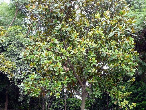Magnolia Grandiflora Magnolia