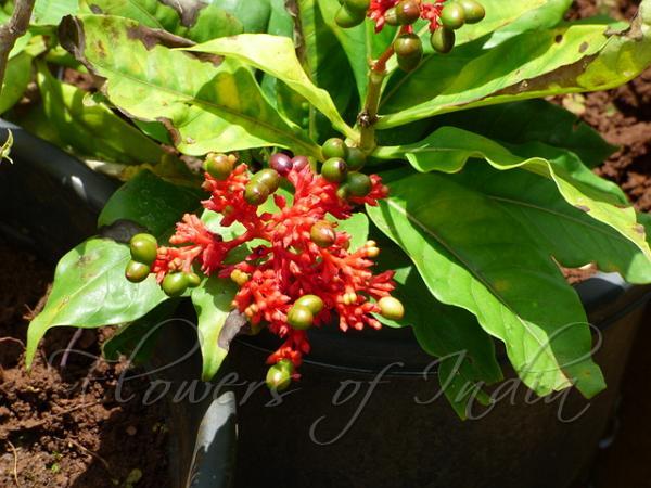 Rauvolfia serpentina - Sarpagandha