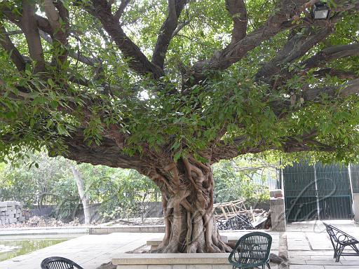fig in marathi